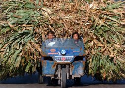 these-chinese-farmers-are-transporting-harvested-barley